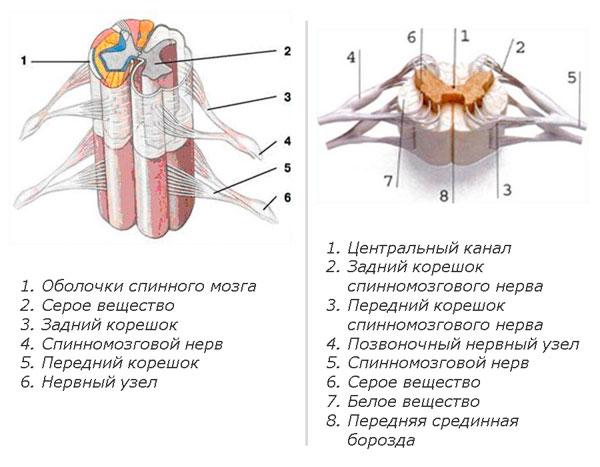 Строение спинного мозга человека